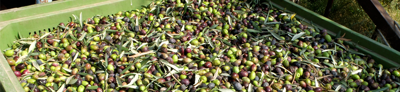 Discover the other italy _Olives